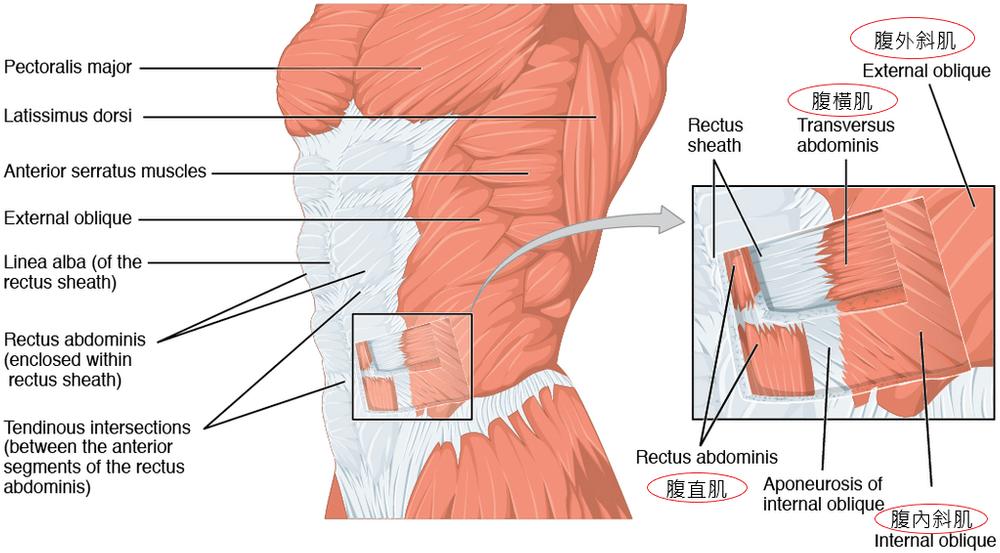 核心肌群是什麼