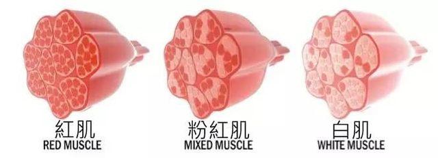 紅白肌示意圖